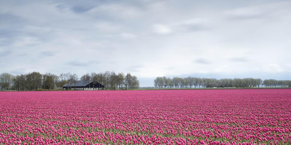Qué ver en Amsterdam - Campos de Tulipanes