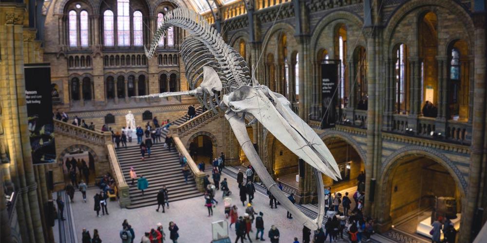 Este gigantesco esqueleto cetáceo es una de las principales cosas que ver en el Museo de Historia Natural.