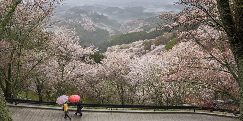 Viajar a Japón: cerezos en flor