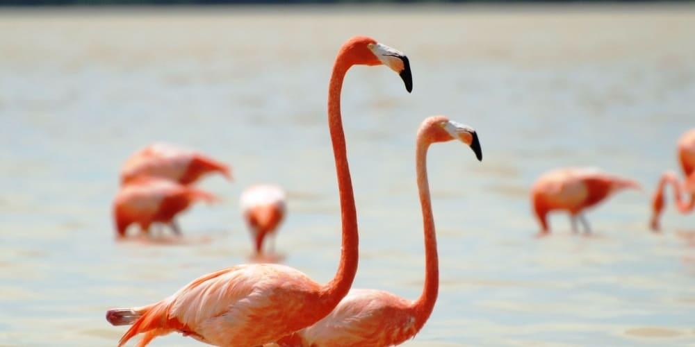 flamencos rosas en las coloradas en marzo, méxico. Mejor tiempo y clima para visitarlas en Riviera Maya.