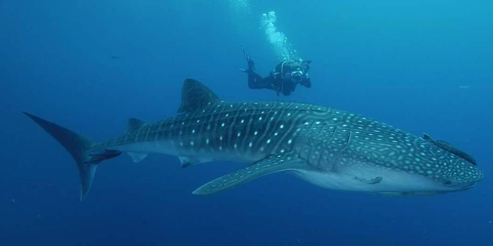 Tiburon ballena en riviera maya