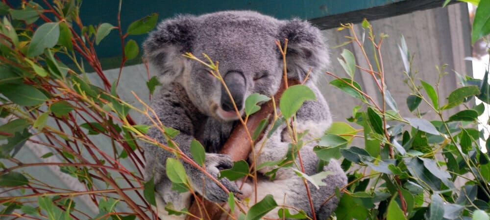 Koala en el Featherdale Wildlife Park