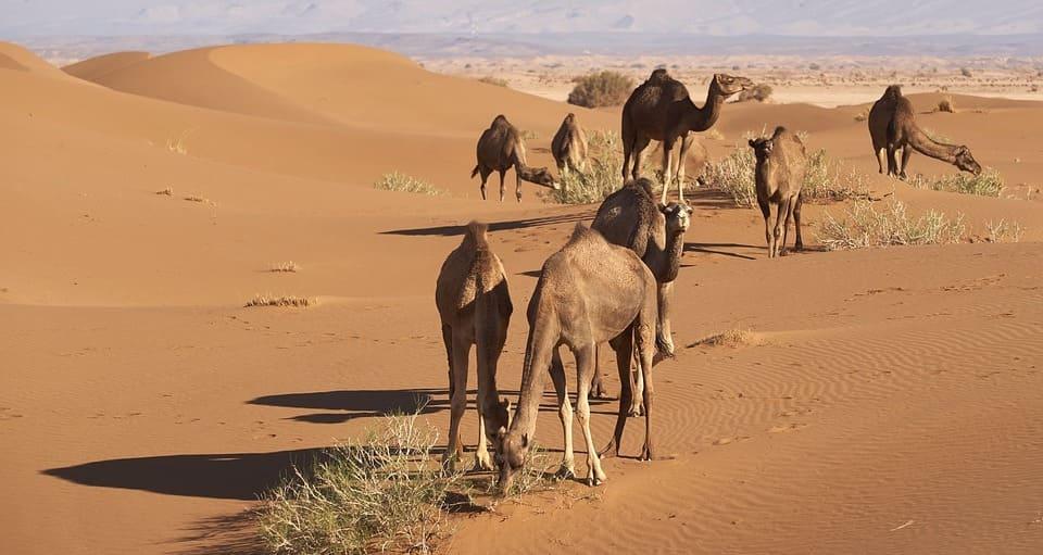 Excursión al desierto de Marrakech en dromedario