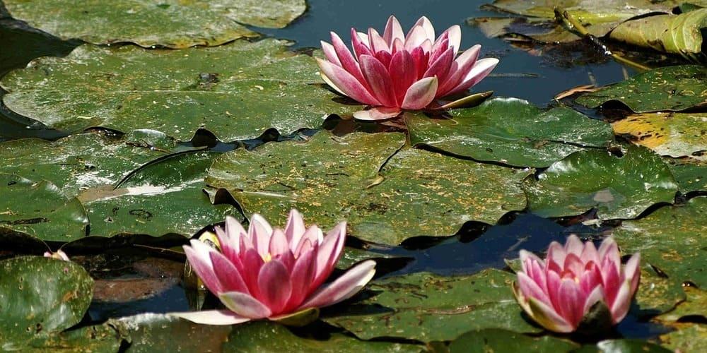 Nenúfares sobre el lago de los jardines de Monet en Giverny.