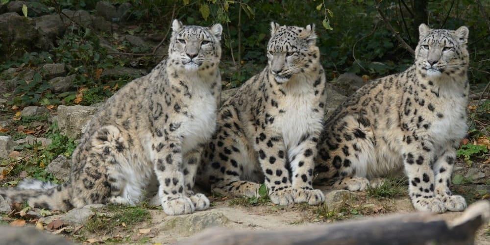 Leopardos de las nieves.