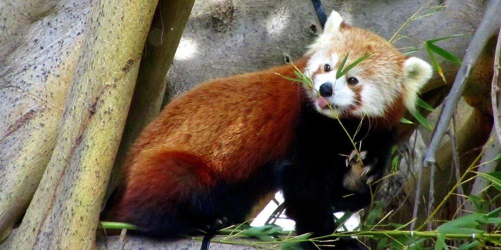 Panda rojo comiendo en el zoo.