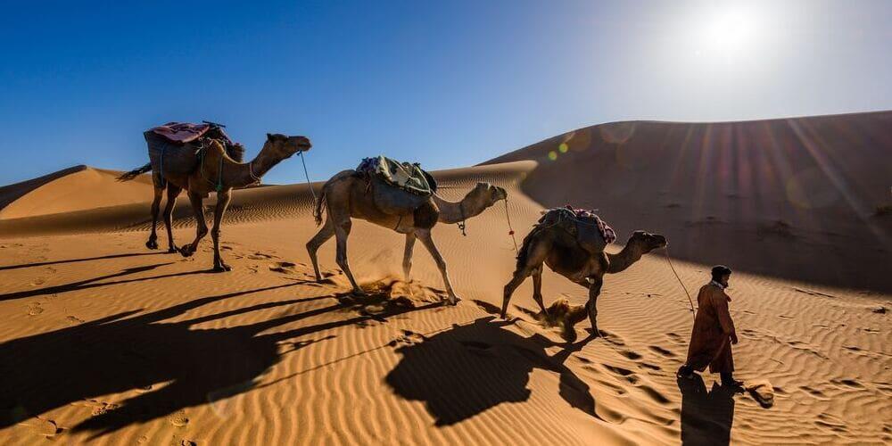 Guía con los camellos bajo el soleado tiempo en Marrakech en marzo.