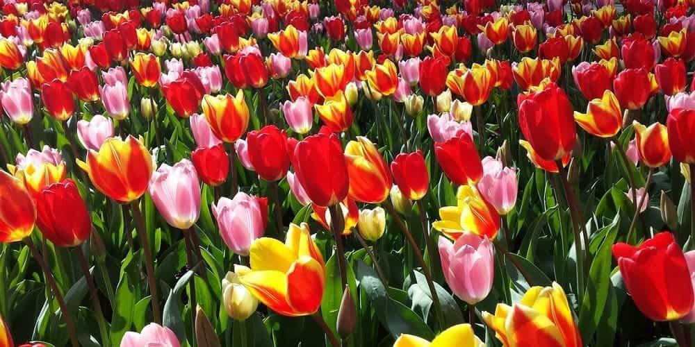 El Keukenhof, parque de los tulipanes de Ámsterdam en Holanda