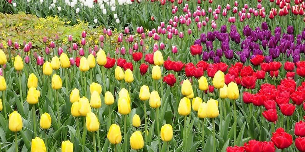 Los tulipanes son la flor emblemática de Holanda