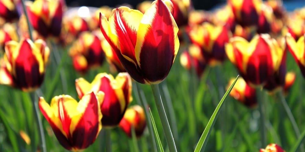 Descubre dónde ver los tulipanes de Ámsterdam más bonitos