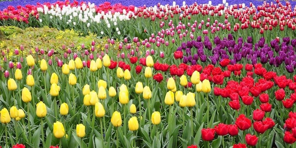 La primavera es la mejor época para ver los tulipanes en Ámsterdam