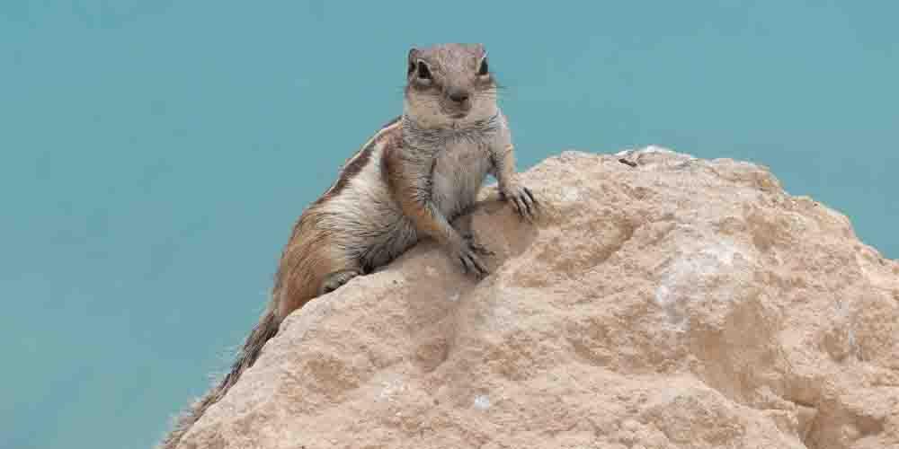 Una ardilla típica de la fauna que ver en Fuerteventura.