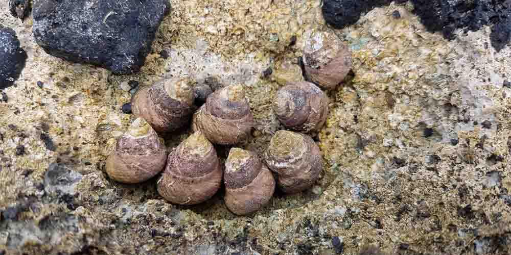Caracoles de la playa del Ámbar.